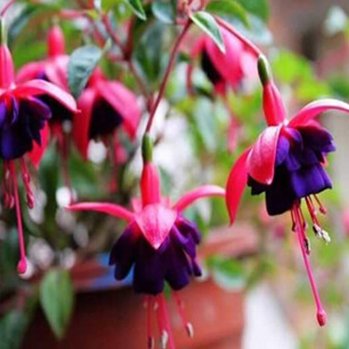 Hardy bush fuchsia flower seeds golden bell forsythia home for Home garden plants