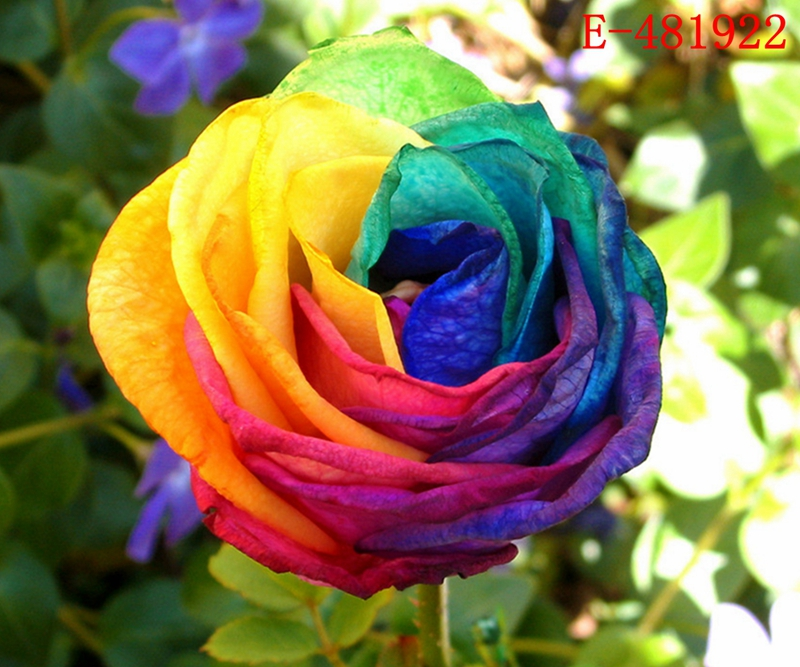 20 samen bunt regenbogen rose saatgut seeds blau lila rosa schwarz flower blumen ebay. Black Bedroom Furniture Sets. Home Design Ideas