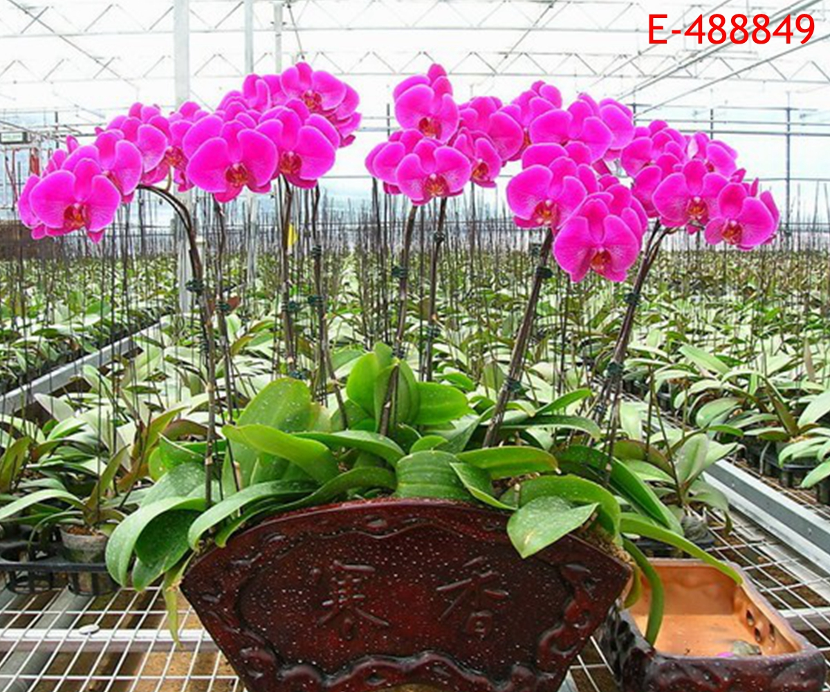 20 Seeds Home Garden Phalaenopsis Butterfly Moth Orchid