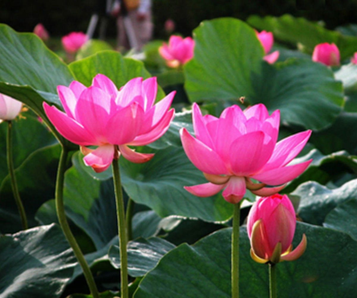 10 seeds lotus bowl water lily nelumbo nymphaea pond for Lotus plant for sale