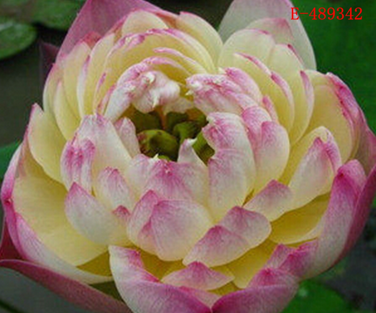 10pcs lotus seeds bowl water lily nelumbo nymphaea pond for Lotus plant for sale