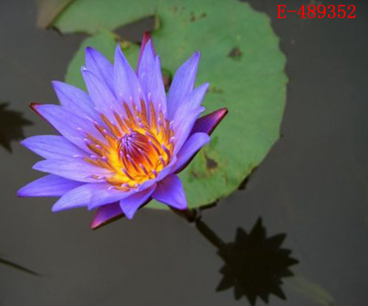 10 seeds lotus bowl water lily nelumbo nymphaea pond for Oxygenating pond plants for sale