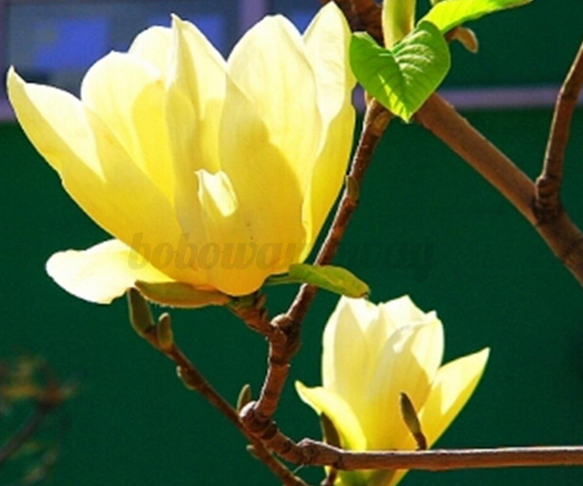 100pcs magnolie magnolia loebneri samerei magnolienbaum samen saagut seeds ebay. Black Bedroom Furniture Sets. Home Design Ideas