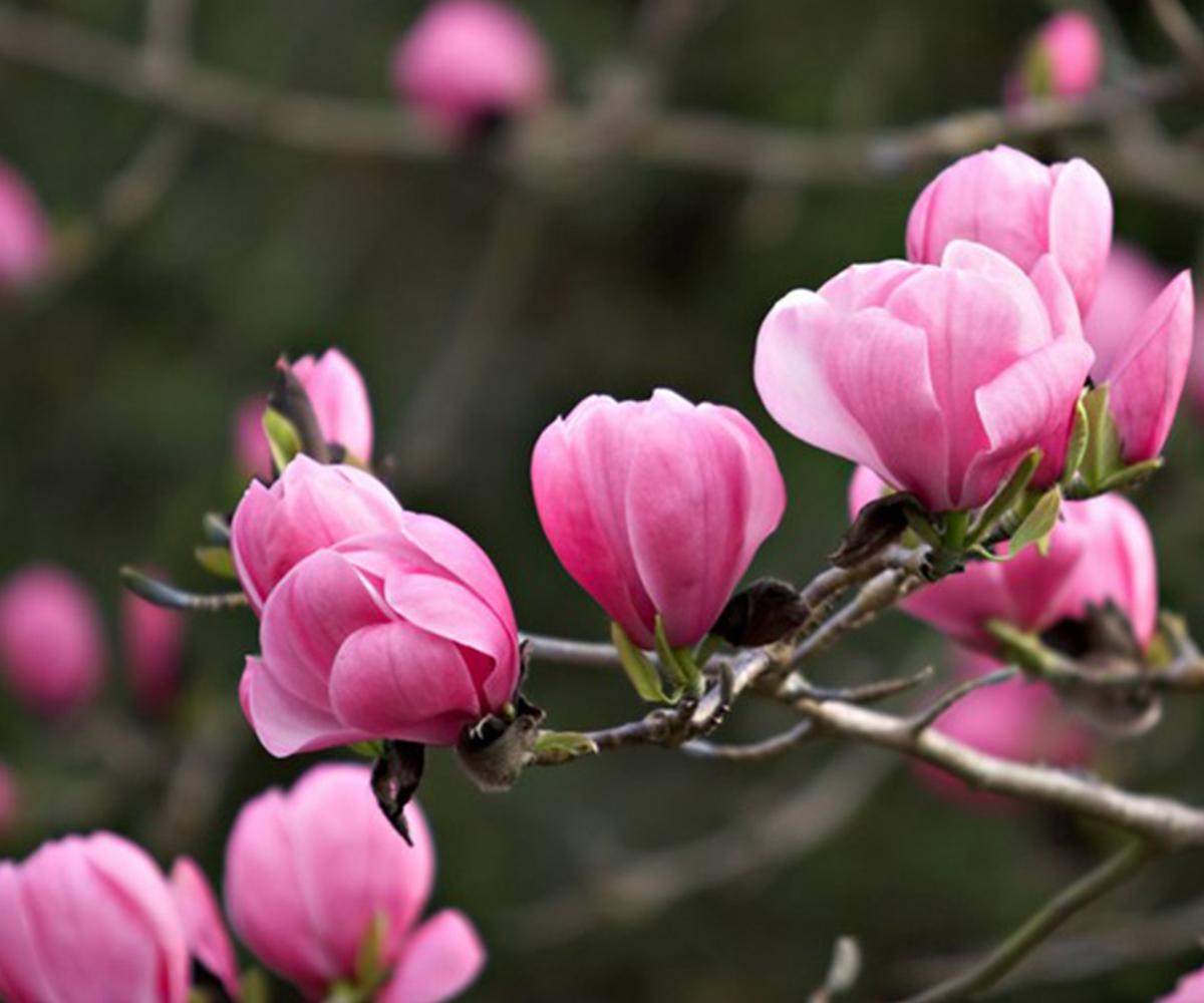100 PCS Pink Magnolia Grandiflora Fragrant Perennial