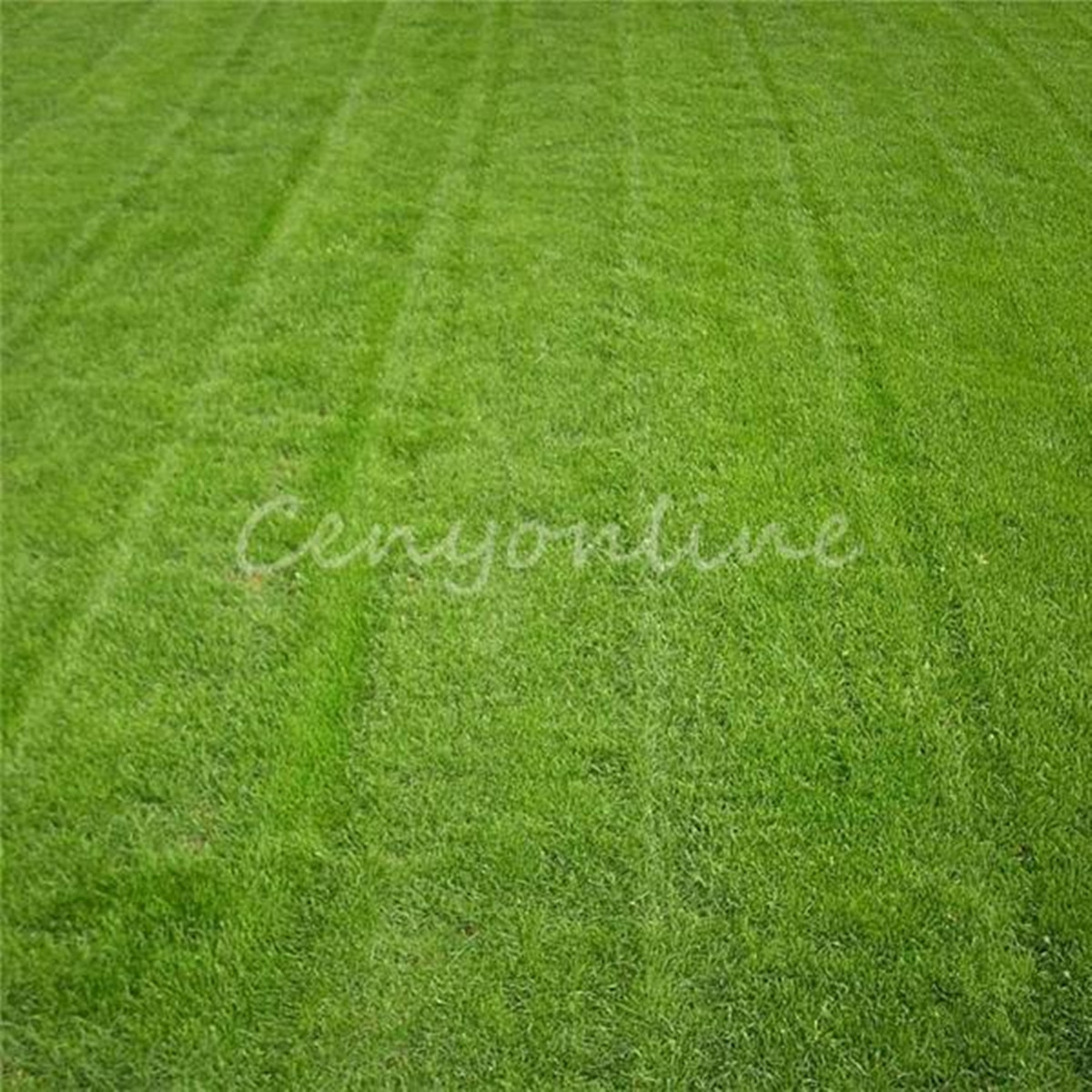 10000x tall fescue grass seeds festuca arundinacea lawn for Decorative lawn grass