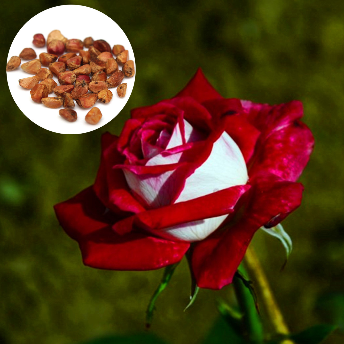 60pcs rare seed osiria ruby rose red with white flower seeds garden plant ebay - When to plant roses ...