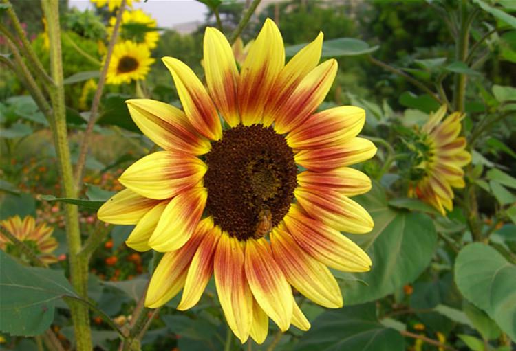 25pcs graines de tournesol sunflower samen seeds - Graine de tournesol ...