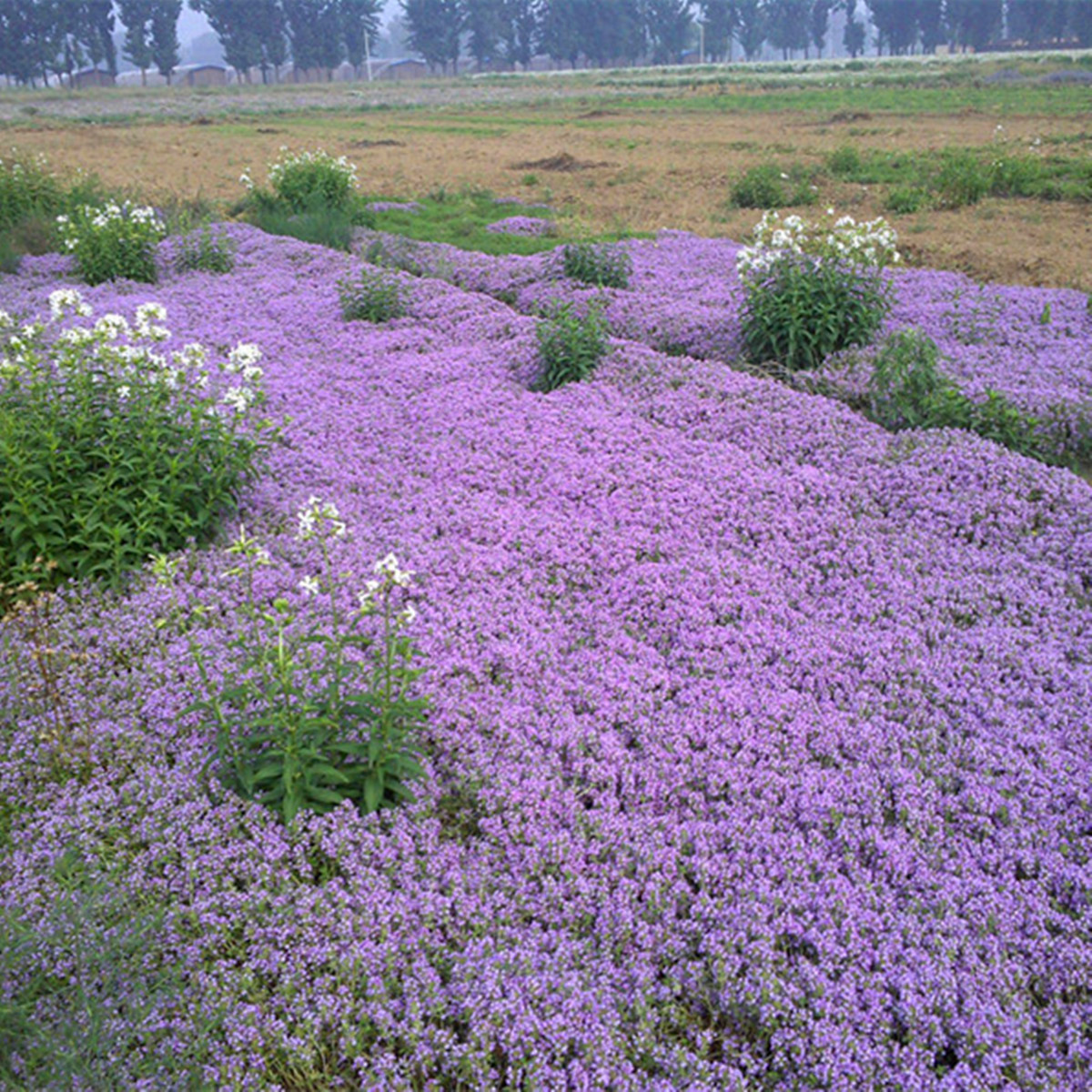 100pcs Creeping Thyme Seeds Thymus Serpyllum Perennial ...