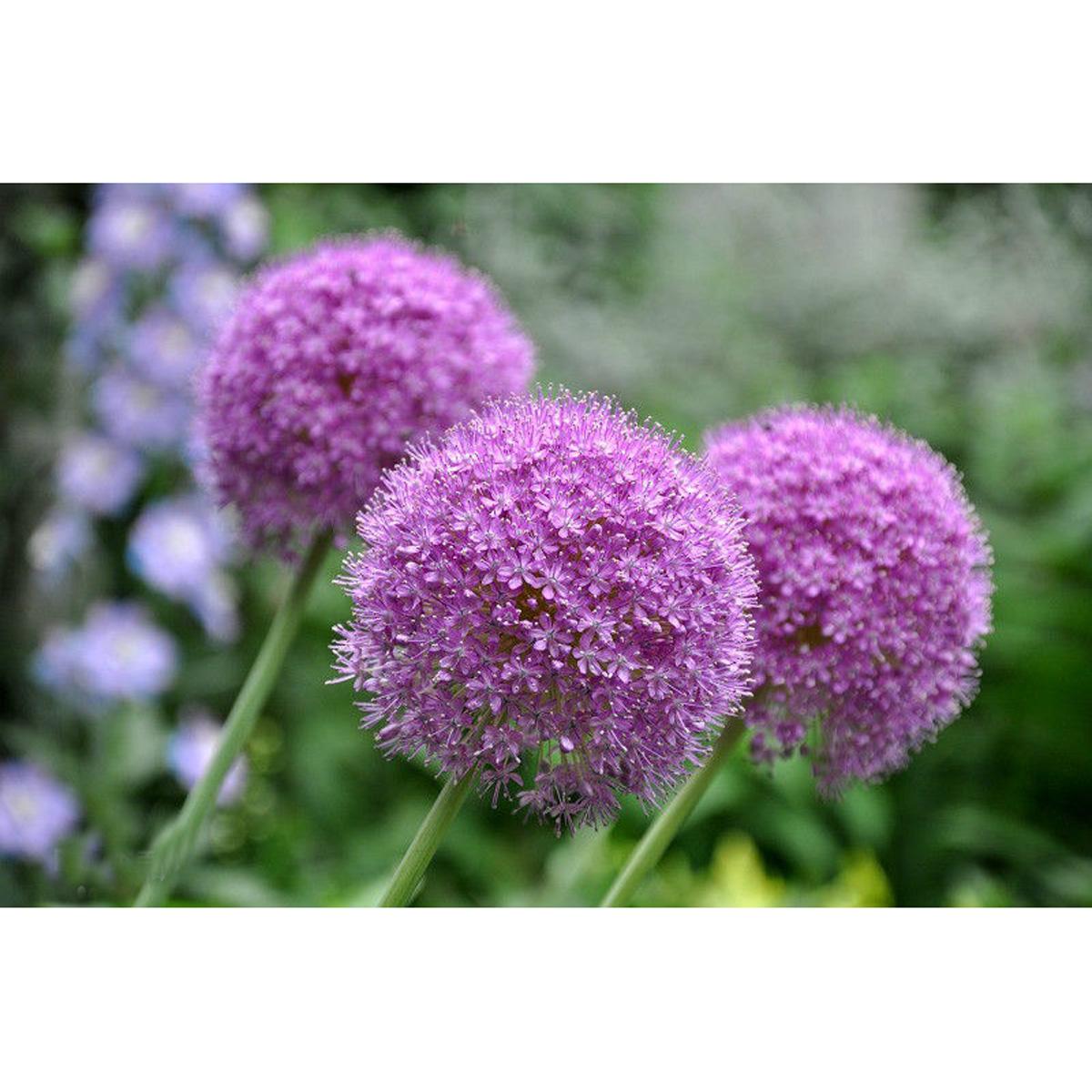 20 samen riesen lauch allium lila giganteum onion seeds zierlauch bl ten saatgut ebay. Black Bedroom Furniture Sets. Home Design Ideas