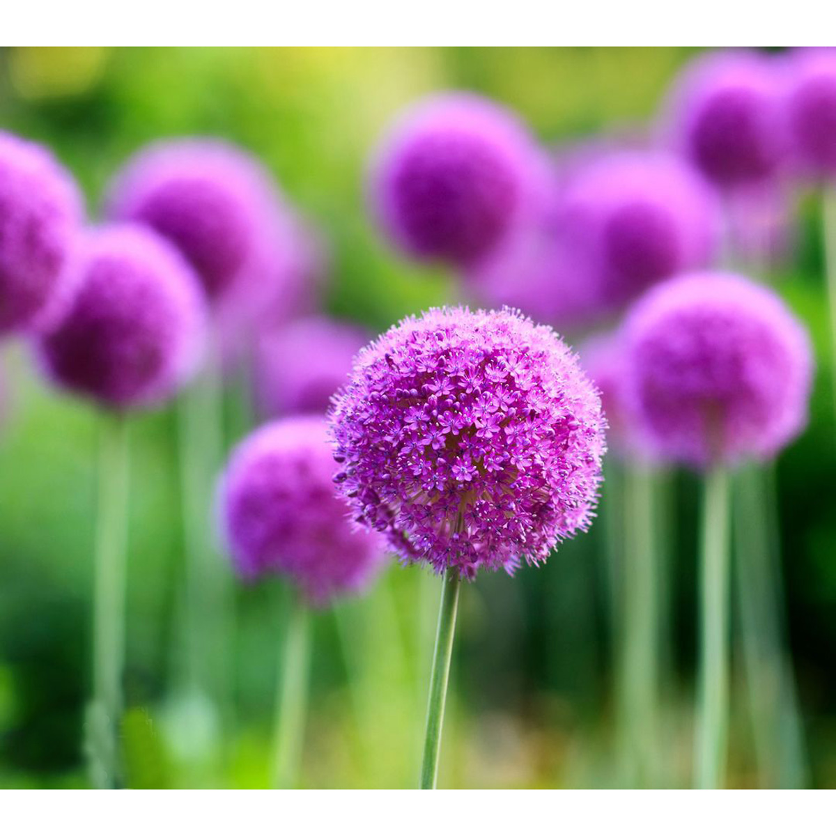 20 samen riesen lauch allium lila giganteum onion seeds. Black Bedroom Furniture Sets. Home Design Ideas