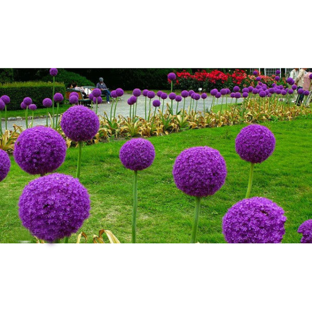 20 samen riesen lauch allium lila giganteum onion seeds. Black Bedroom Furniture Sets. Home Design Ideas