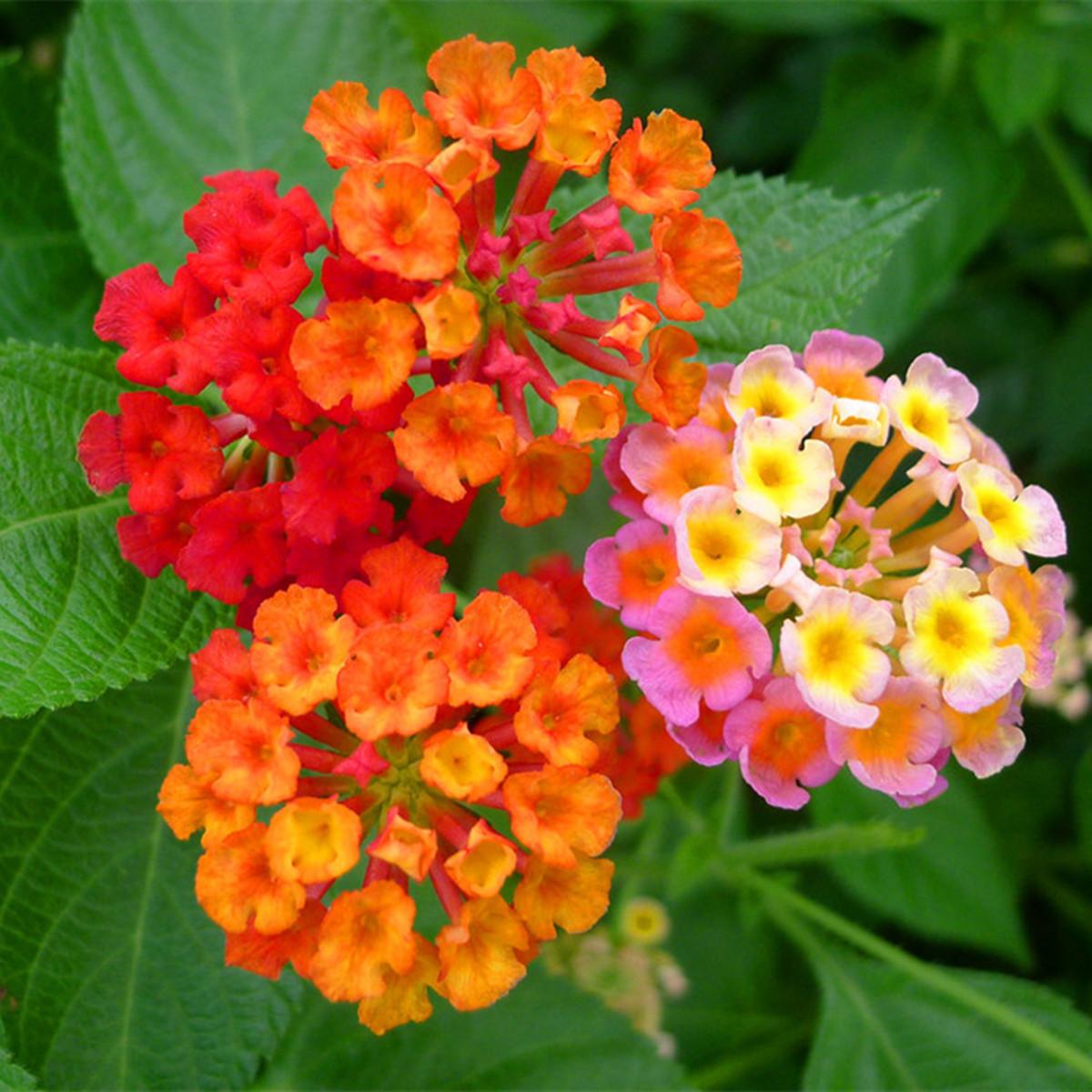 38 selezionare ortaggio frutta fiori lithops di semi for Vendita semi fiori