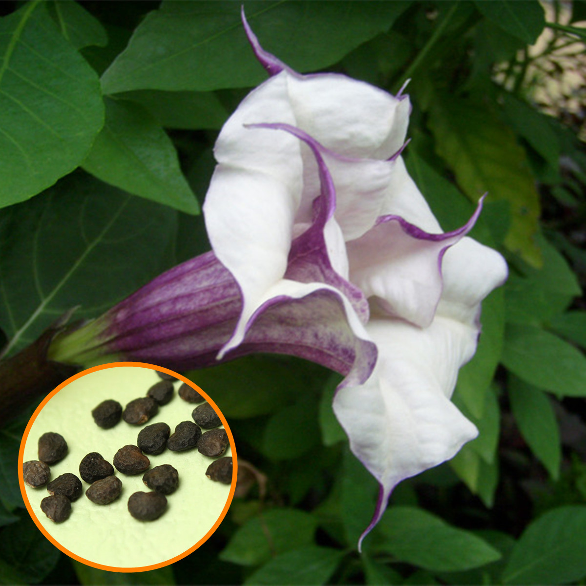 20Pcs Purple Mandala Moonflower Datura Seeds Rare Exotic Fragrant Flower Plant