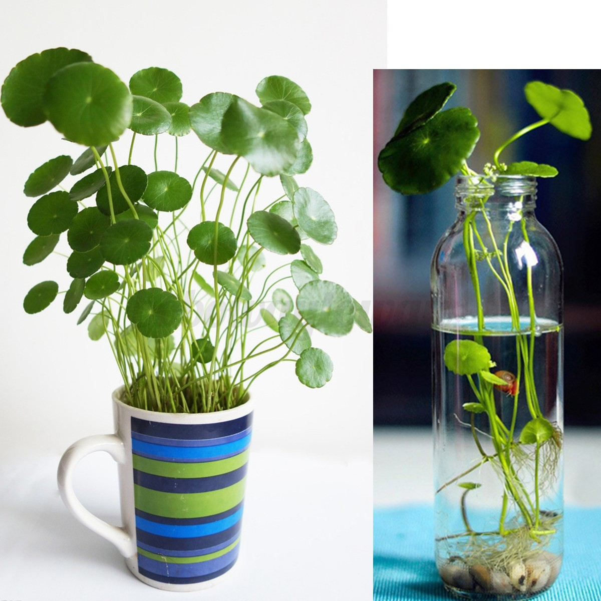 Indoor Plants Grown In Water: 50x Hydrocotyle Vulgaris Pilea Seeds Green Water/Soil
