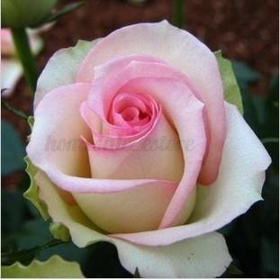 how to grow holland rainbow rose