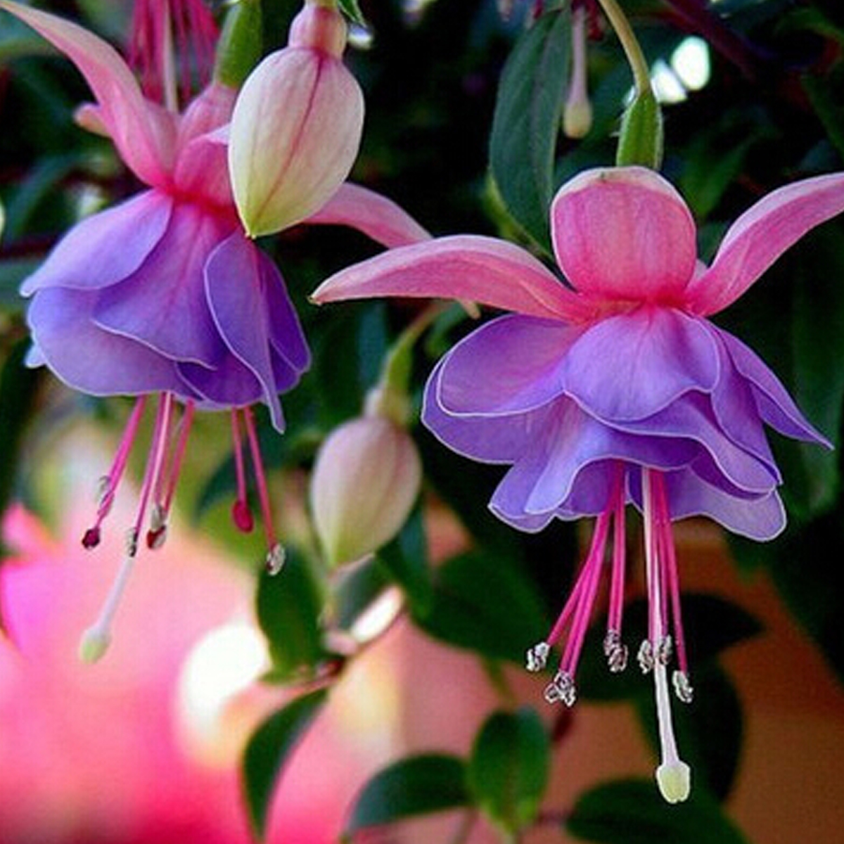Hardy bush fuchsia flower seeds golden bell forsythia home garden detail image mightylinksfo