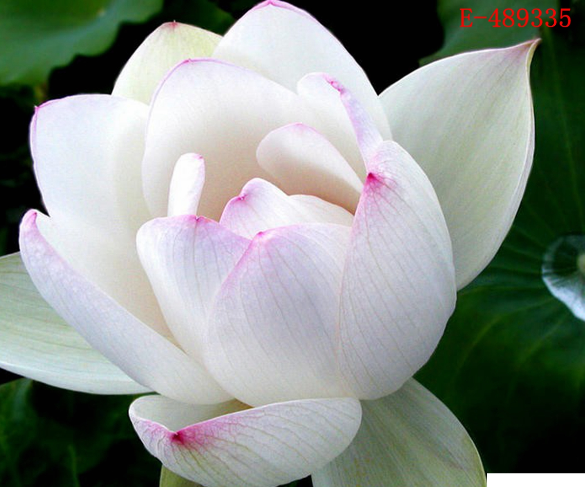 10 Seeds Lotus Bowl Water Lily Nelumbo Nymphaea Pond Plants Flower