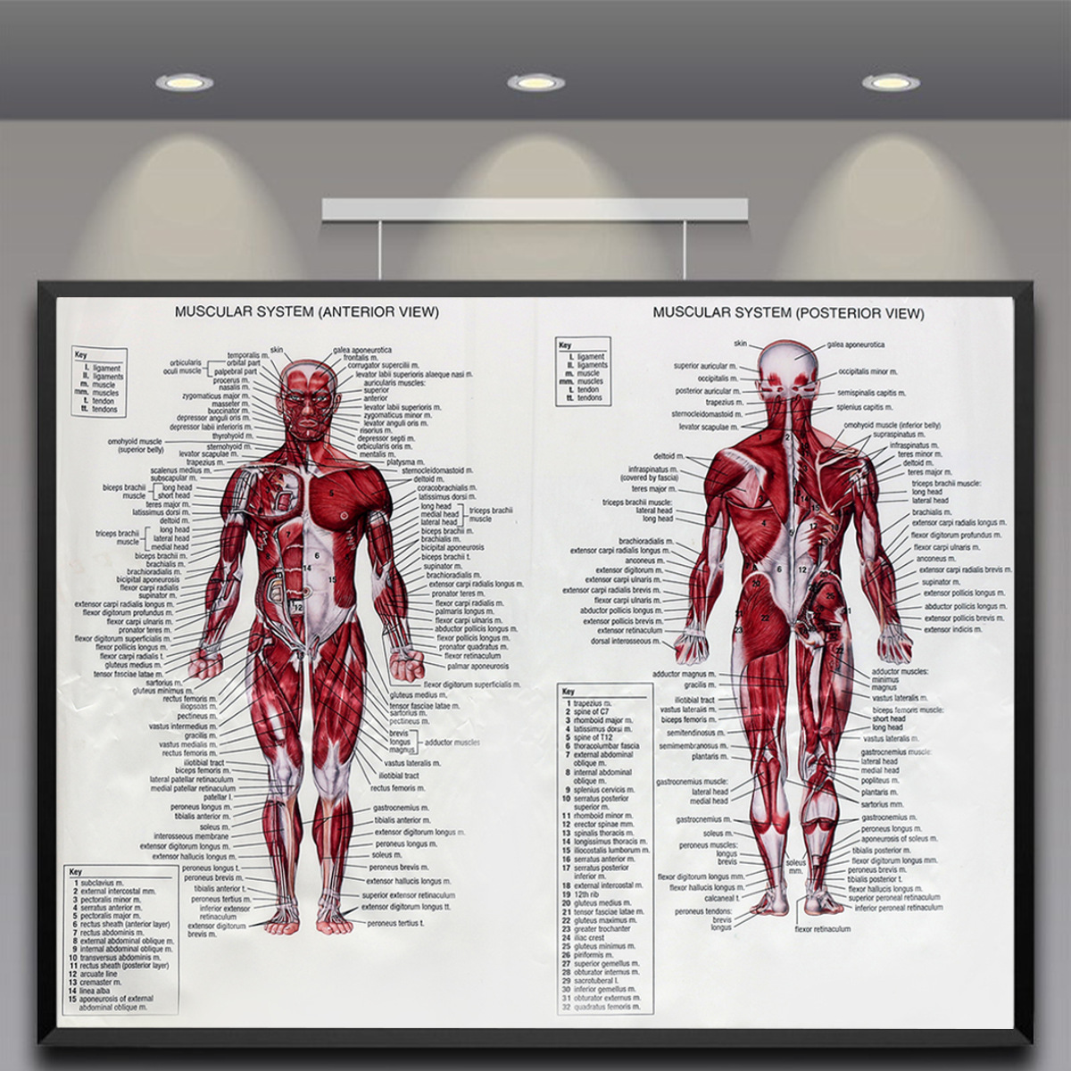 Human Body Muscle Anatomy System Poster Anatomical Chart Educational